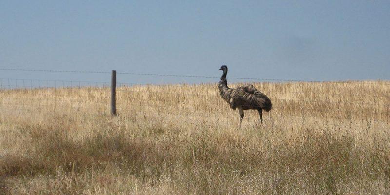 A single Australian emu walking alongside a barbed wire fence in a field of dry grass